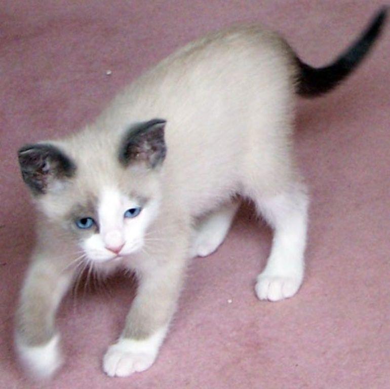 The Rare Snowshoe Cat Its Unique Characteristics Pouted Com Kitten Breeds Cutest Kitten Breeds Snowshoe Cat