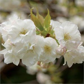 Prunus Shirotae Mt Fuji Weeping Cherry