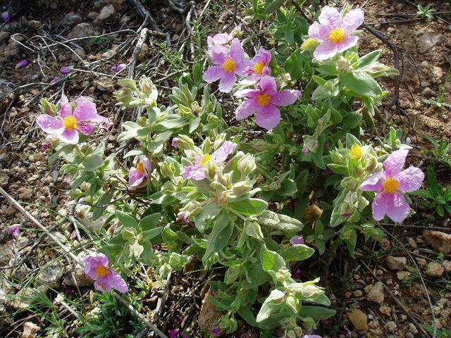 La Jara blanca (Cistus albidus) es un arbusto perennifolio de la ...