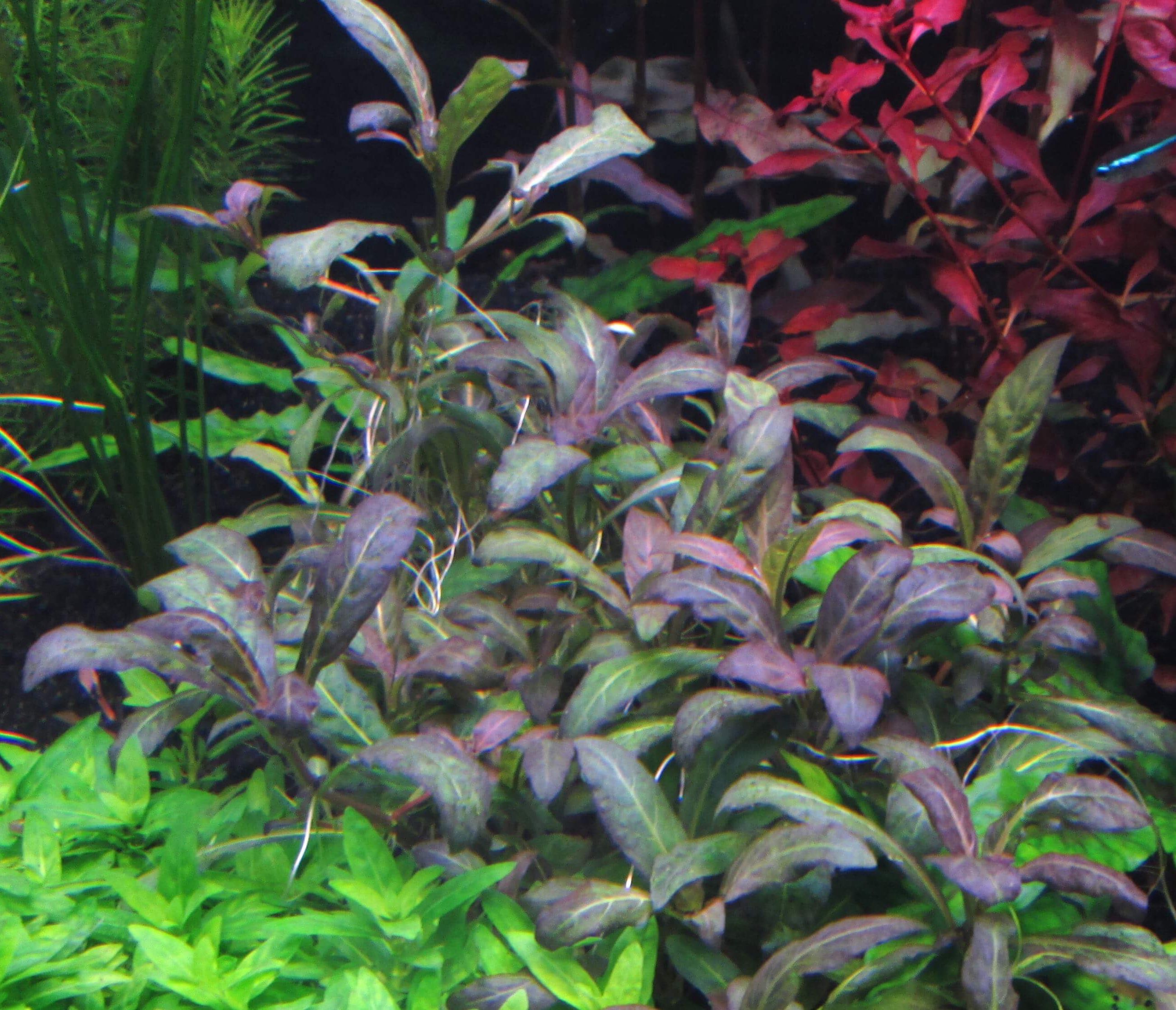 "Staurogyne ""purple"" Aquarium plant wiki Pinterest"
