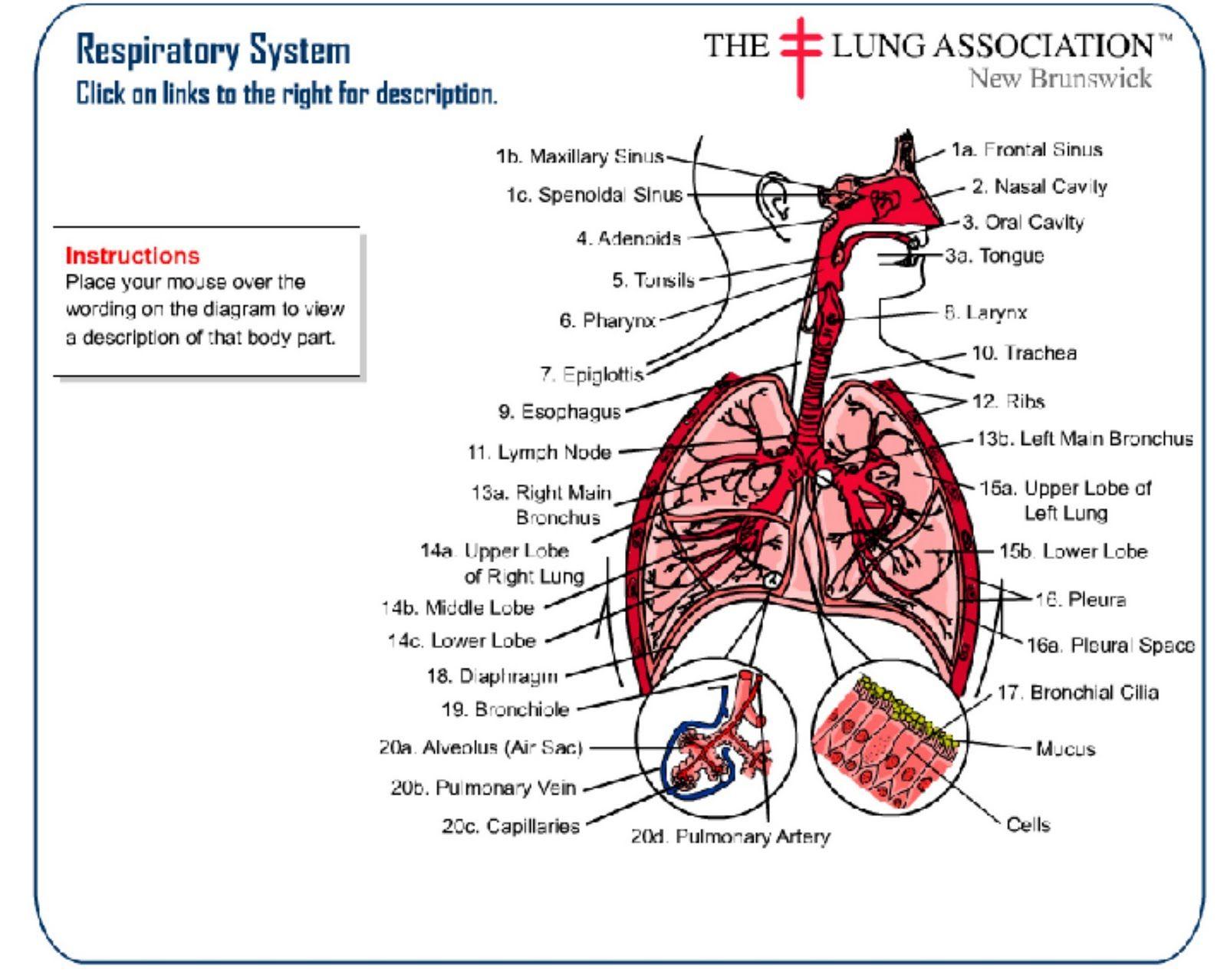 Label Excretion System Respiratory System Swf Respiratory System Learning Worksheets Respiratory