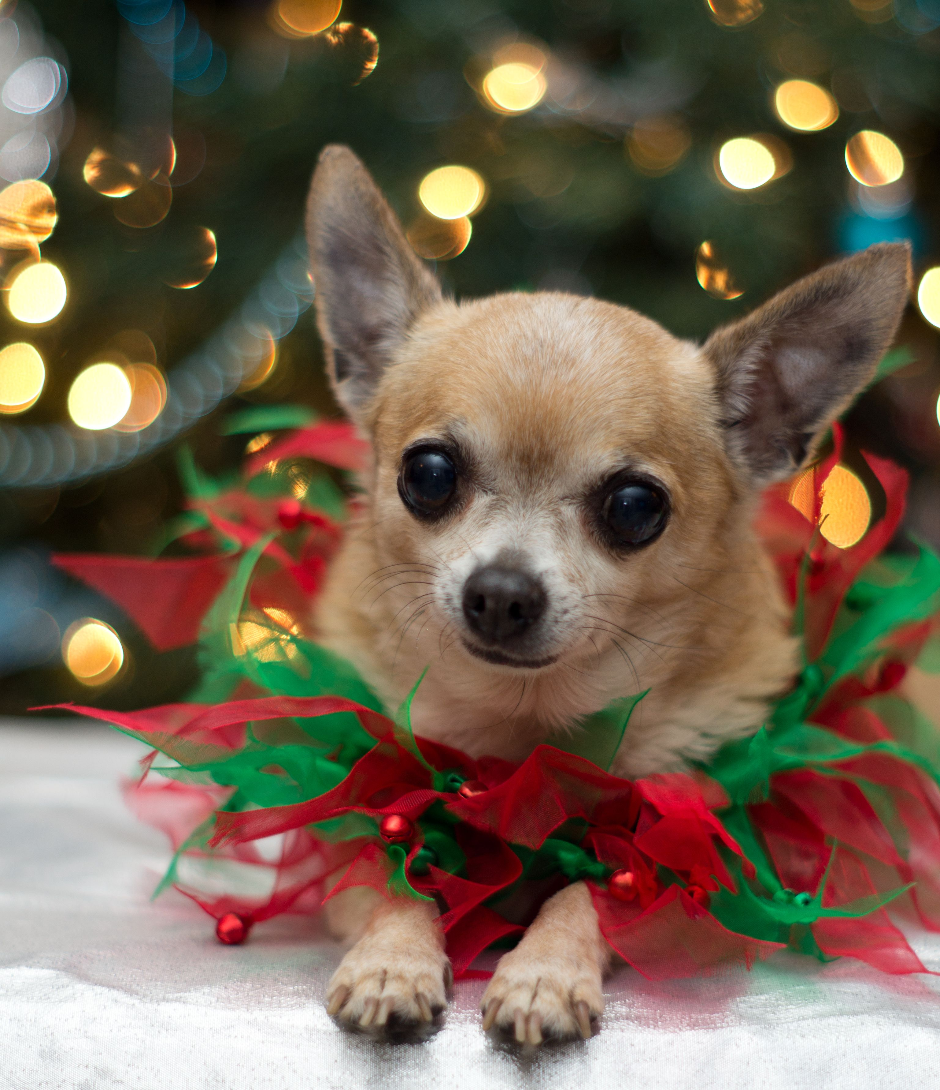 Tiny Christmas Chihuahua Merry Christmas Card Puppy Holiday Dogs ...