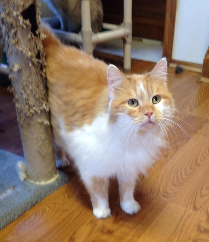 Adopt Flinn On Cats And Kittens Pet Adoption Cat Adoption