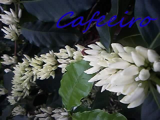Cafeeiro em flor