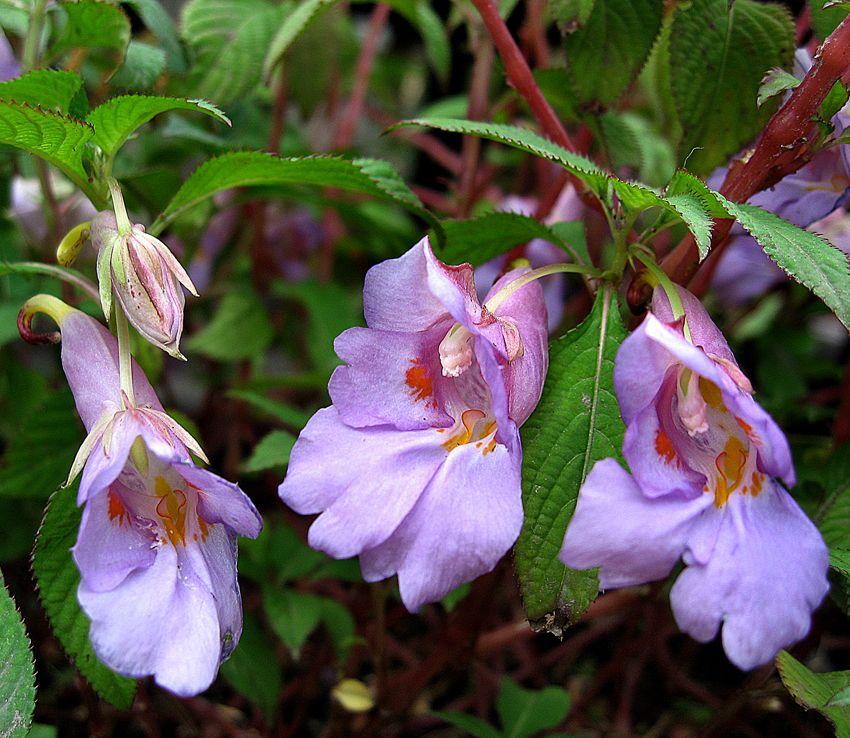 Impatiens Arguta Plants Shade Plants Perennials