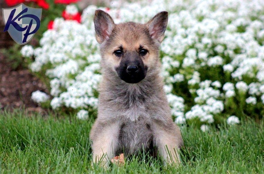 Daisy German Shepherd Puppies for Sale in PA Keystone
