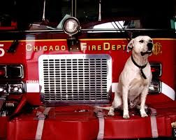 Firehouse Dog Google Search Chicago Fire Dogs Fire Dept