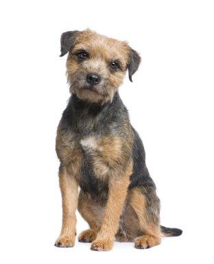 Border Terrier Dog Breed Info Border Terrier Dog Breeds
