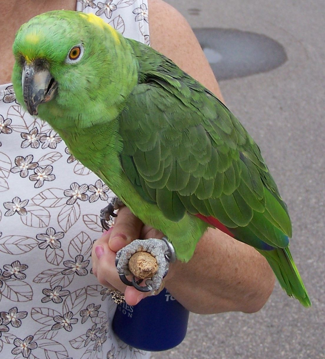 A 20 Year Old Yellow Naped Amazon As A Pet Parrot Amazon