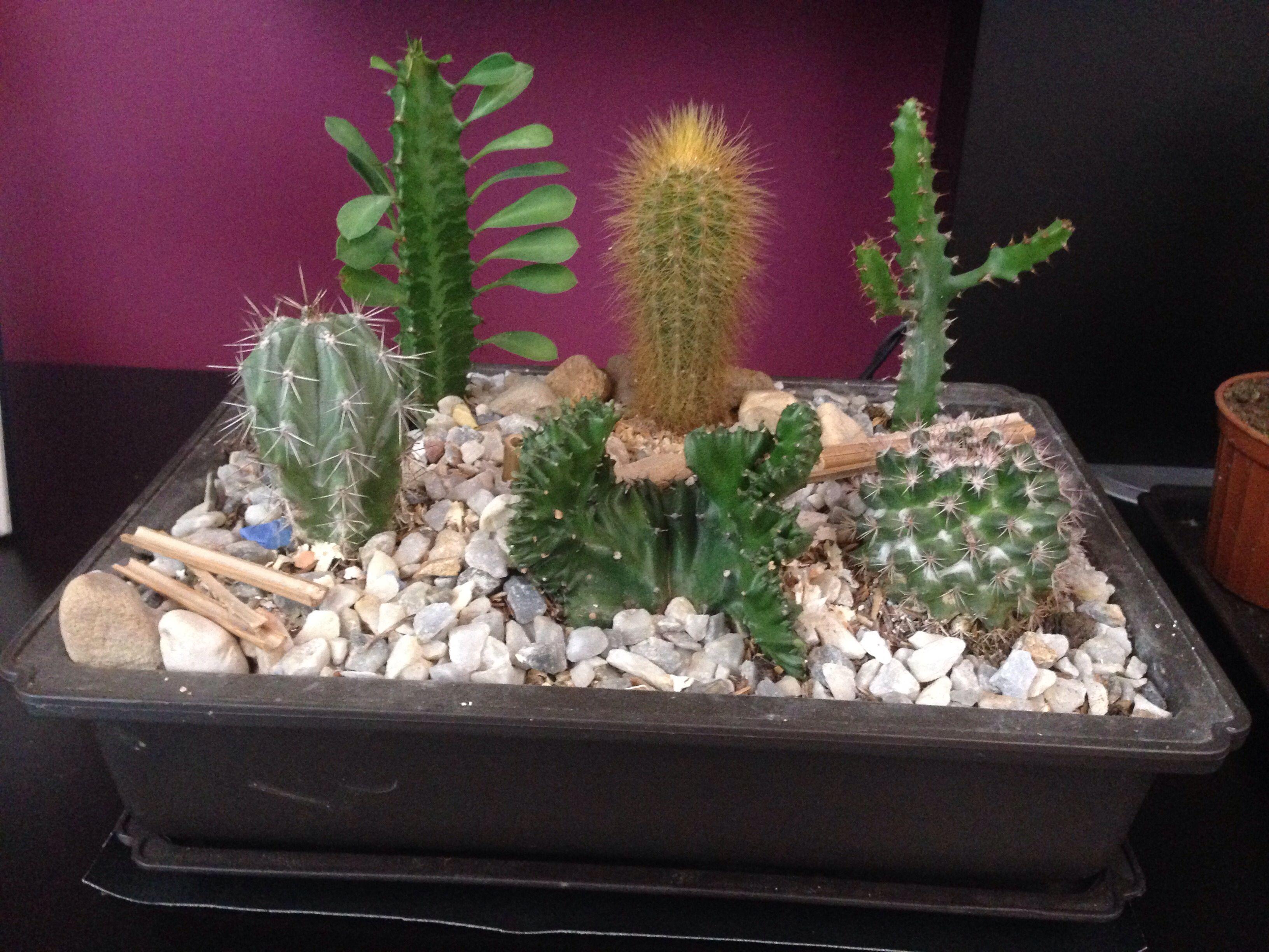 Mini jardines de cactus en macetas
