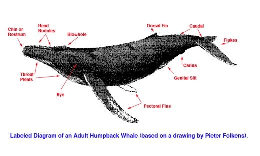 Adult humpback whale anatomy diagram | Biology | Pinterest