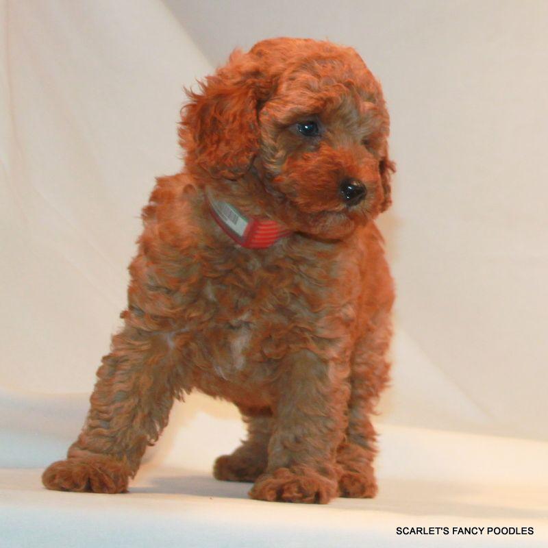 Red Mini Poodle Scarlet S Fancy Poodles Akc Poodle Puppies