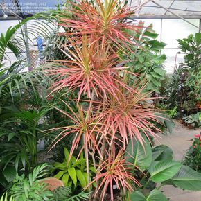 Full Size Picture Of Red Margined Dracaena Dragon Tree Tricolor