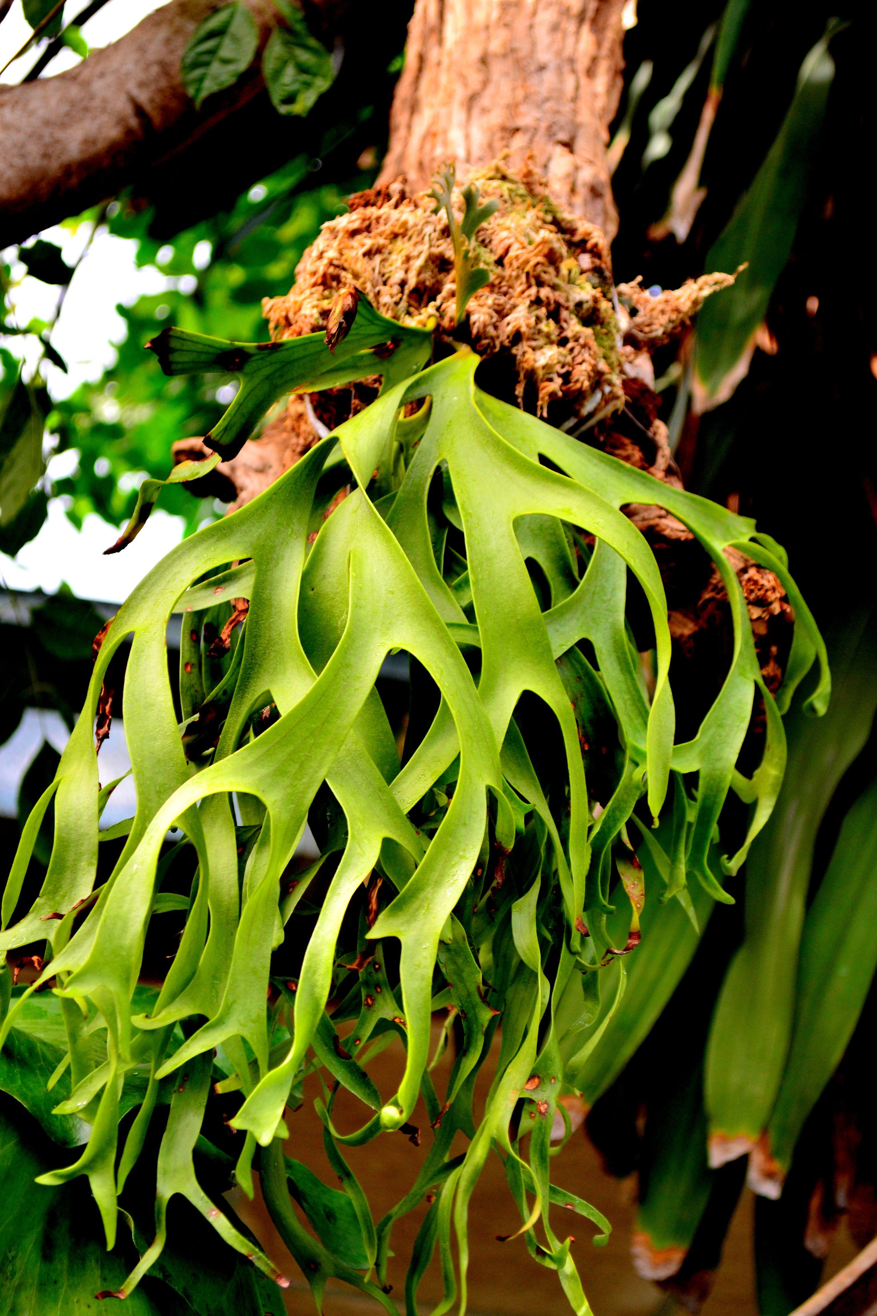 coronarium Philippines Fern plant, Cool plants, Tropical
