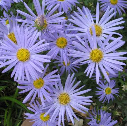 Japanese Aster Plant Blue Star Flowers Summer Thru Fall Hardy Perennial Zone 5 9 Hardy Perennials Planting Flowers Plants