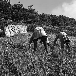 Harvesters, 1955