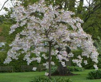 Prunus Shirotae Mt Fuji Cherry Google Search Blossom Trees Front Gardens Specimen Trees