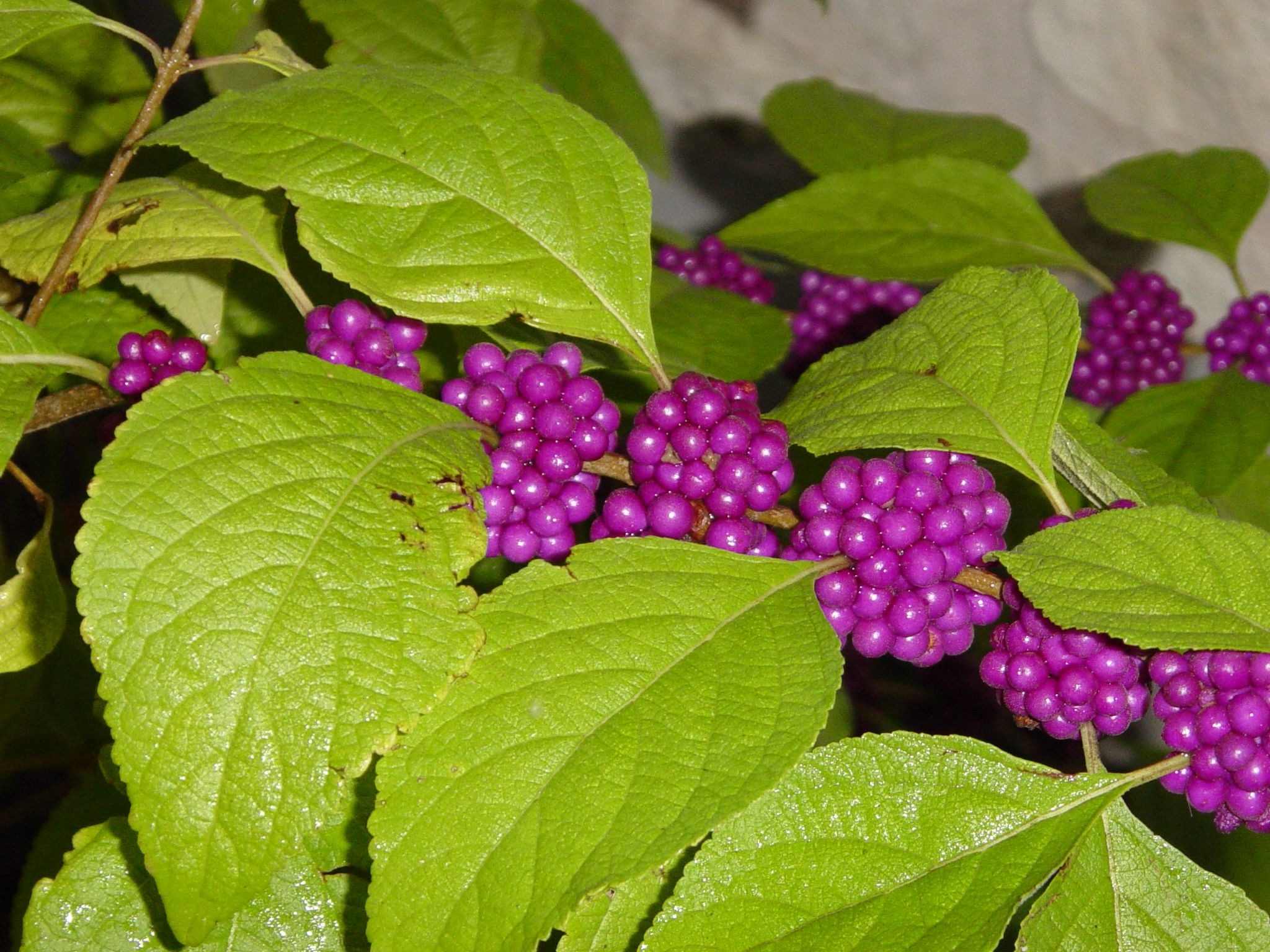 American beautyberry is a fantastic texas native it grows well in