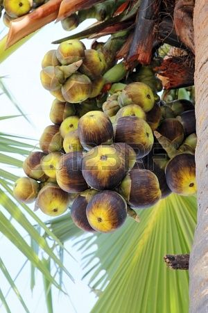 Palmyra Palm (Borassus flabellifer) is native to the Indian sub-continent and Southeast Asia. The fruit of Palmyra Palm contains three sweet jelly seed sockets, translucent pale-white similar to that of lychee but with a milder flavor and no pit