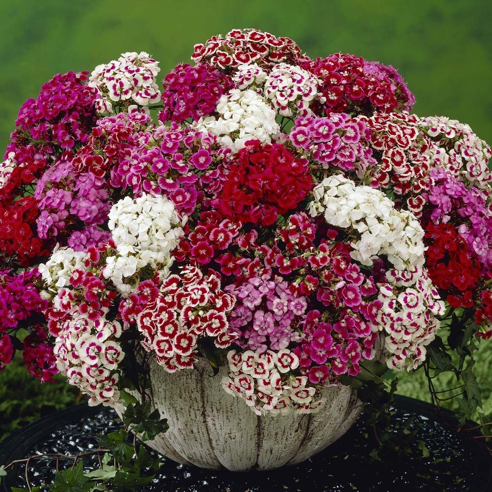 Dianthus Barbatus Excelsior Mixed Sweet William