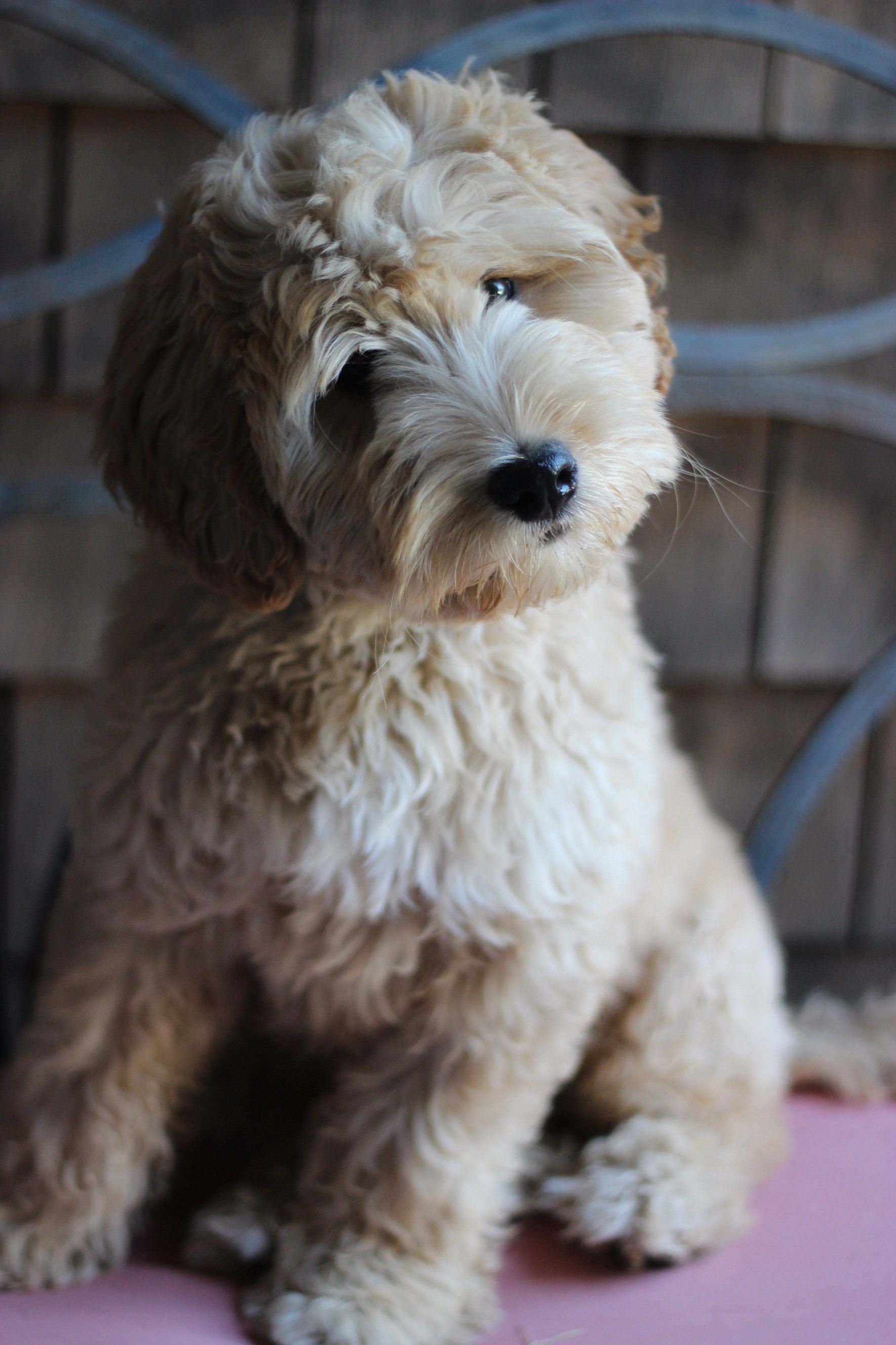 Adopting A Puppy Pricing Puppy Adoption Labradoodle Puppy