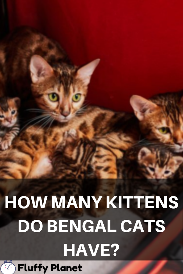 How Many Kittens Do Bengal Cats Have Bengal Cat Cats Kittens