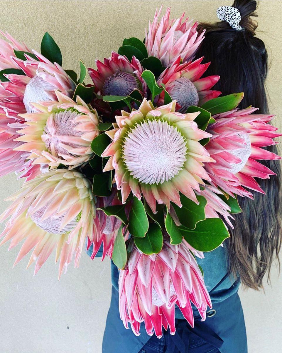 Order King Protea Flower For Bulk Sale Pink King Protea In 2020 Protea Flower Wholesale Flowers Ginger Flower