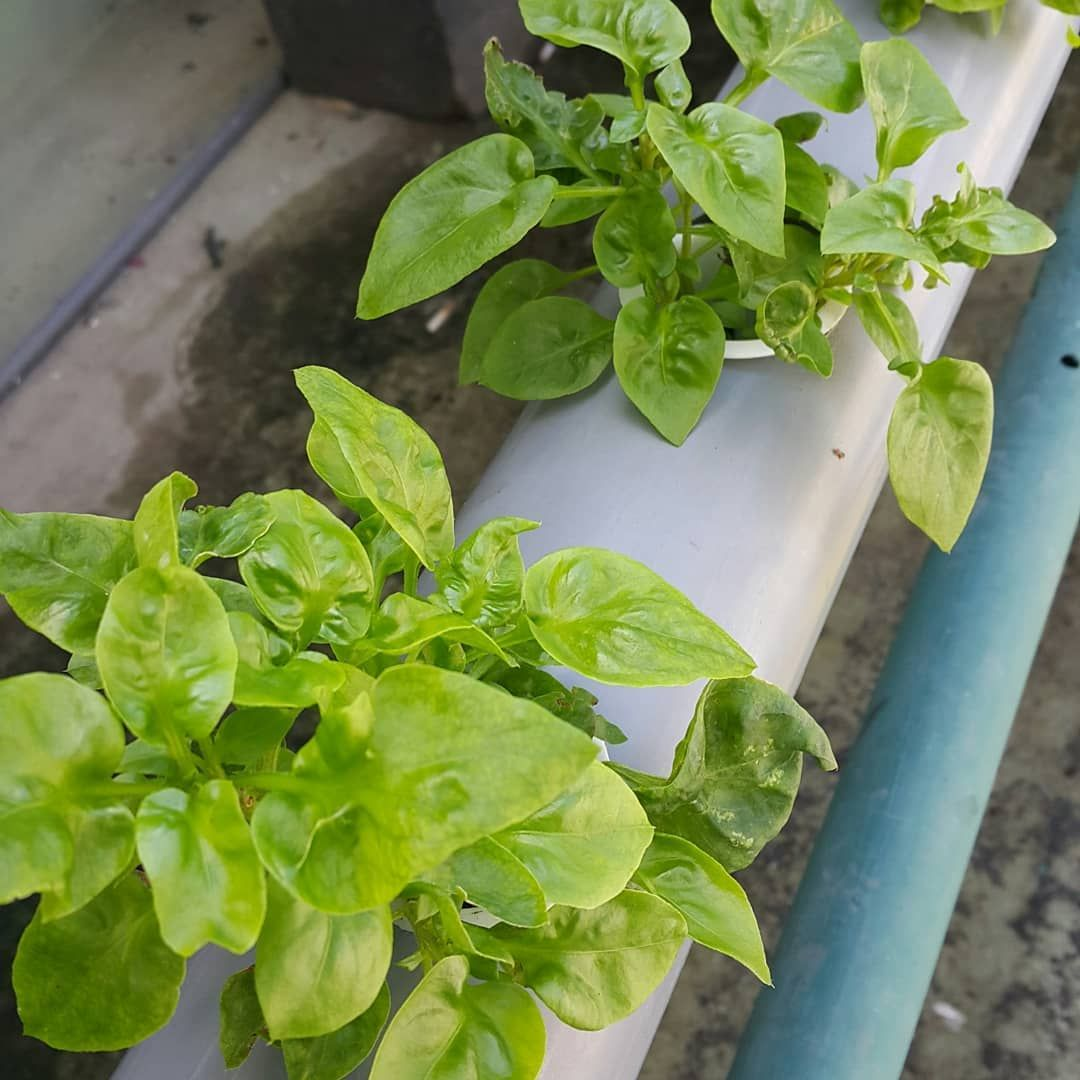 8 Best Choices Of Fast Growing Hydroponic Plants 640 x 480