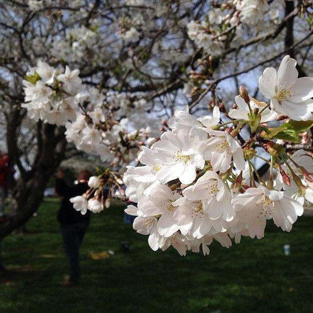 Log In Instagram Ohio University Sakura Cherry Blossom Cherry Blossom Tree