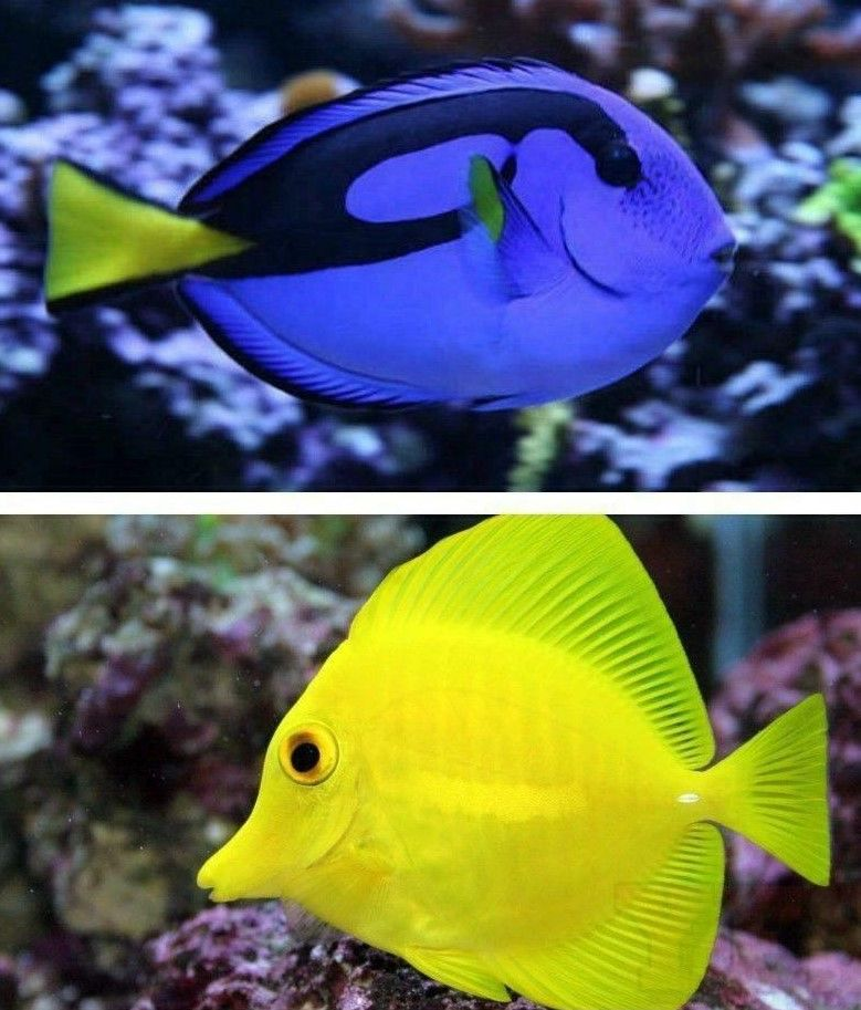 Blue Hippo Tang Yellow Tang Blue Tang Fish Fish Silhouette Fish
