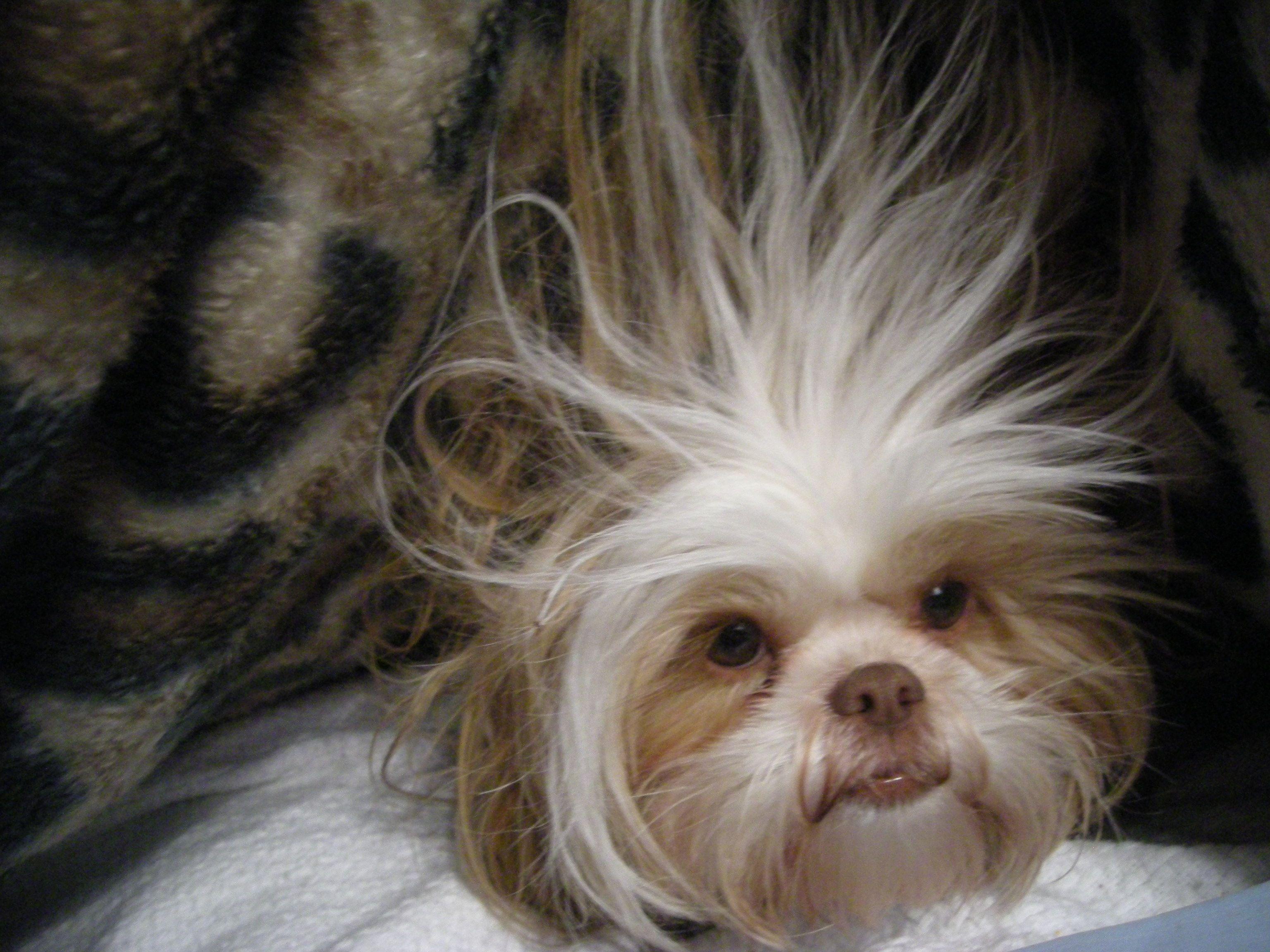 Bella Was Under A Blanket When I Took This Freaky Shih Tzu Shih Tzu Puppy Shih Tzu Dog