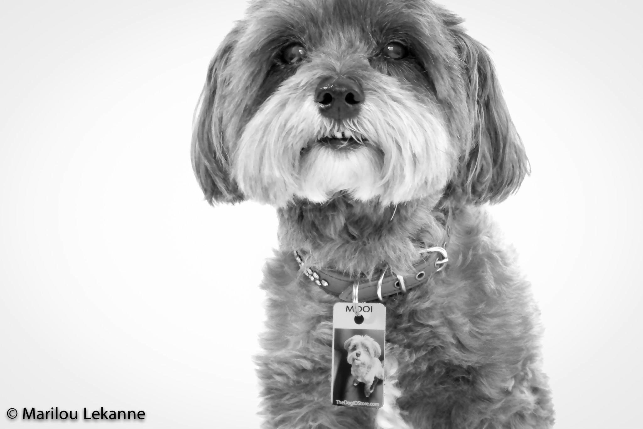 Beautiful Black And White Close Up Image Of Mooi A Maltese Mix Of