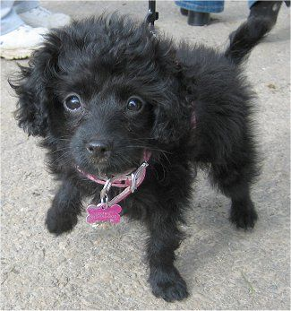 Sophie The Foodle Toy Fox Terrier Toy Poodle Hybrid Puppy At