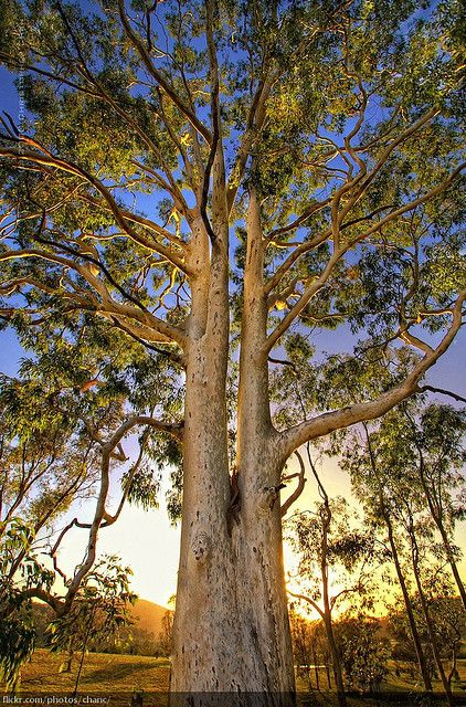 Gum Tree In 2020 Nature Tree Landscape Paintings Tree Of Life