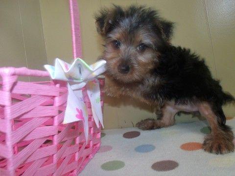Yorkshire Terrier Puppy For Sale In Paterson Nj Adn 24889 On Puppyfinder Com Gender Female Age 11 Weeks Old Yorkshire Terrier Yorkshire Terrier Puppies Puppies