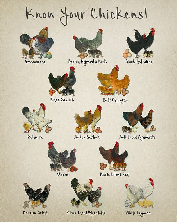 Chicken Breeds Chart Print Vintage Poultry Print Chicken Etsy Chicken Breeds Chart Pet Chickens Chickens