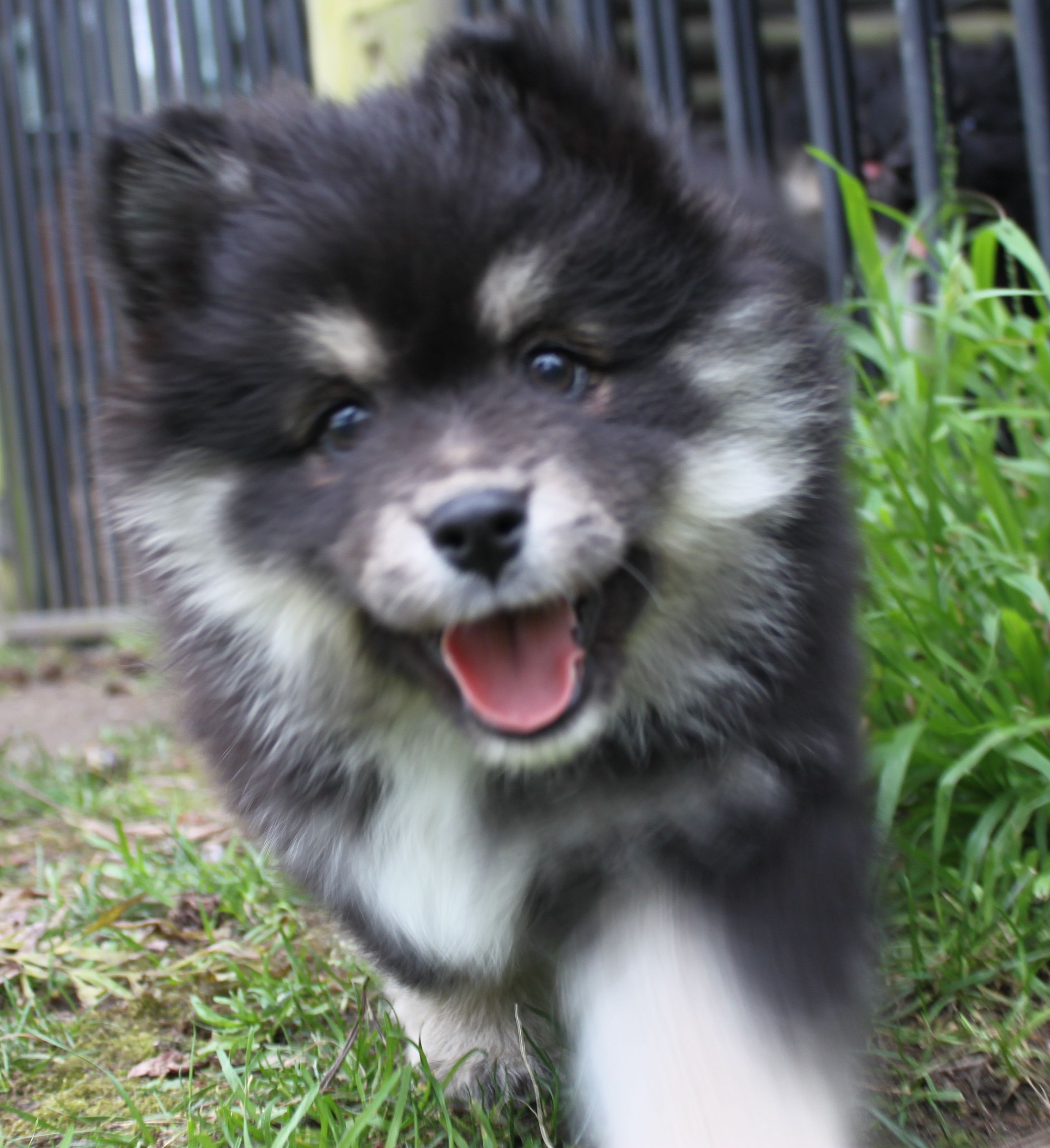 finnish Lapphund photo | Finnish Lapphund puppy photo and ...