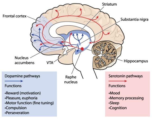 brain's reward system