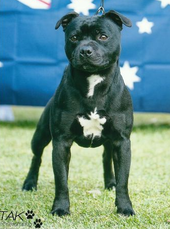 Puppies For Sale Dogs In Australia Staffy Dog Staffordshire Bull Terrier Puppies Puppies