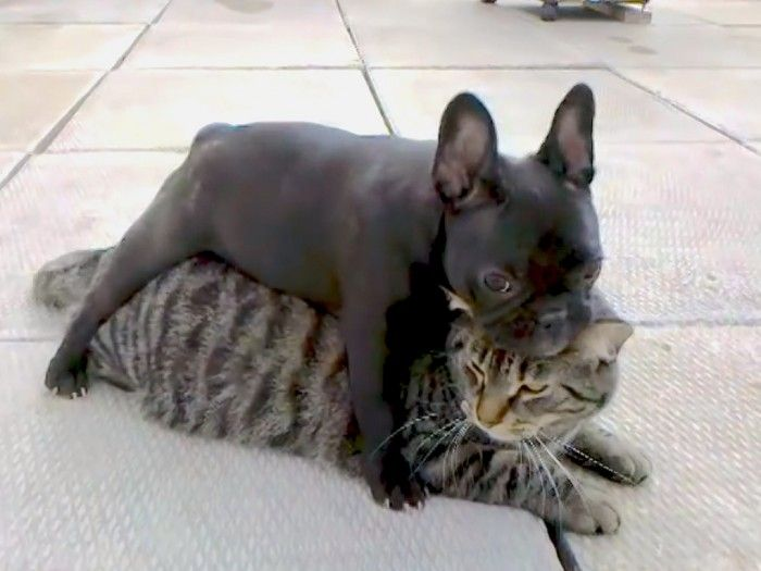 Watch This French Bulldog Puppy Playfully Wrestle Her Cat Brother