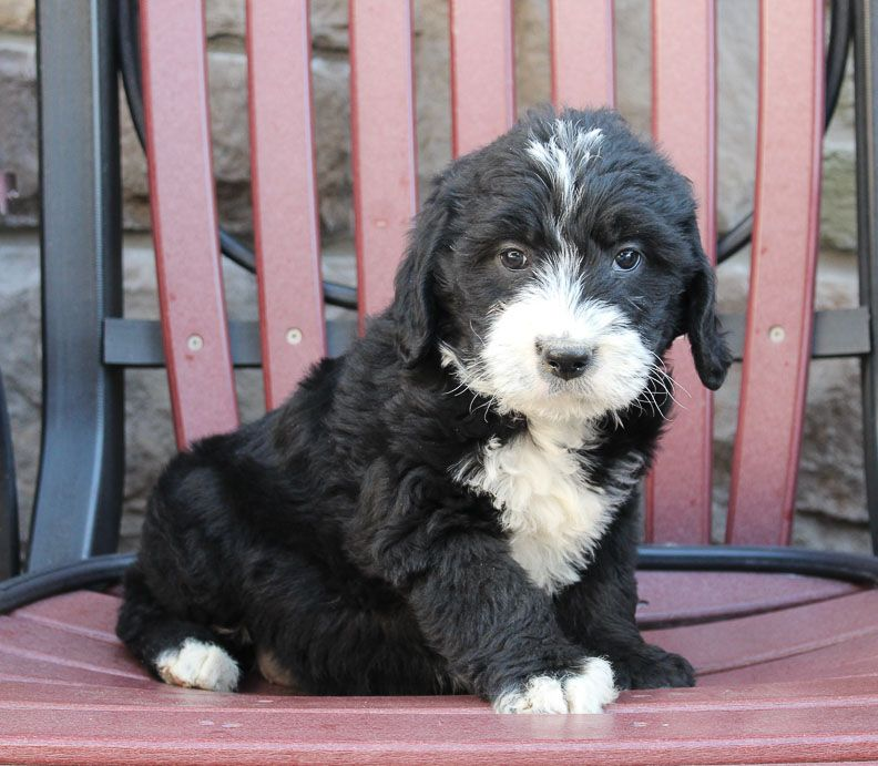 Misty A Female Labradoodle Puppy For Sale From New Haven