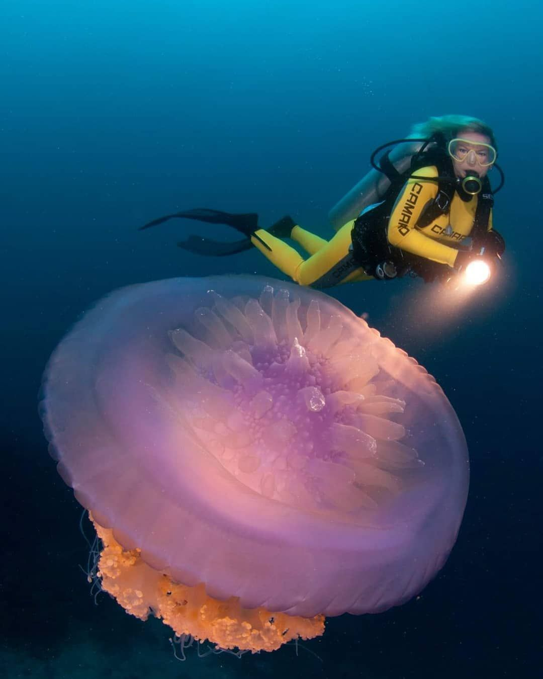 Jellyfish Diving Gear : jellyfish, diving, Jellyfish, Floating, About, Million, Years, Before, Dinosaurs, Heart,, Brain, 98…, Floating,, Dinosaur,