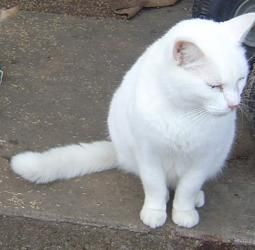 Adopt Tubby Courtesy Listing On Domestic Short Hair White Cat Pets