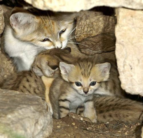 Love the sand cat kittens!!