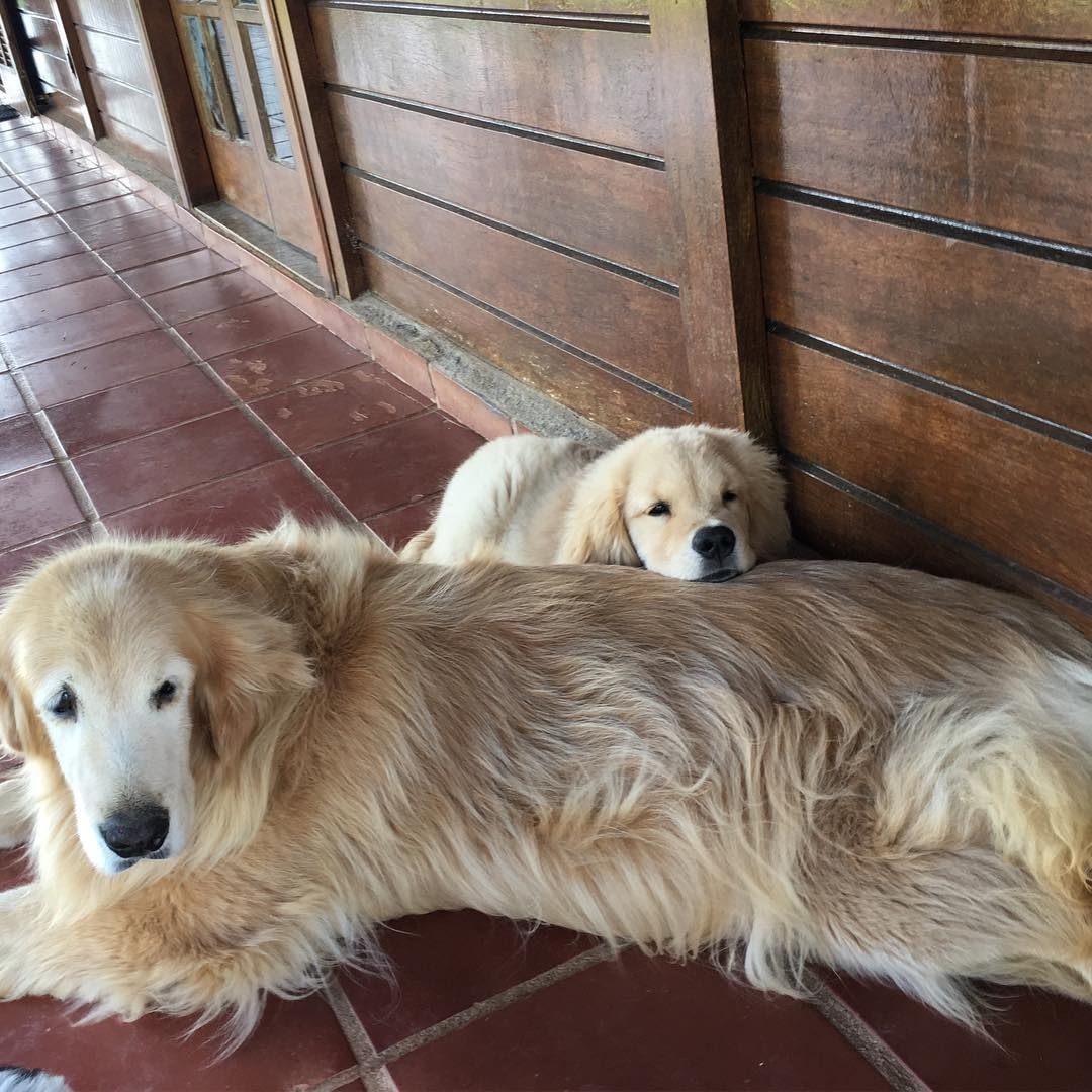 699 Likes 11 Comments Golden Friend Forever Kennel Gffkennel