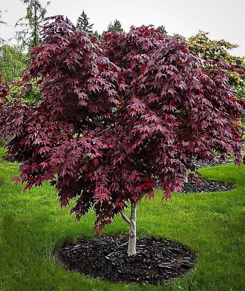 Upright Purple Ghost Japanese Maple Tree Landscape Ideas Plants
