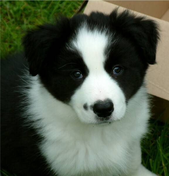 Border Collie Puppies Rough Coated Border Collie Puppies For