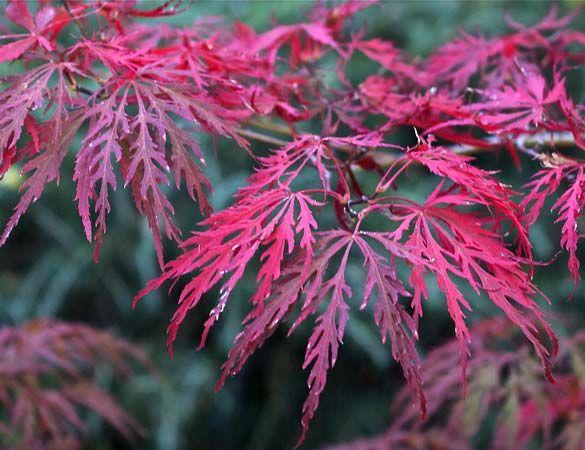 Golden Laceleaf Japanese Maple | lace leaf | Japanese ...
