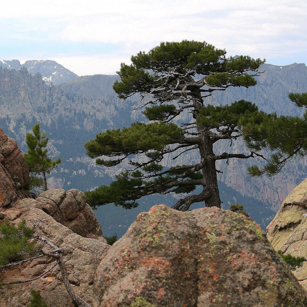 Meet Corsican Pine...our essential oil is distilled from