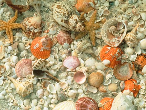 Sanibel Island Shells: Sanibel Island Is One Of The Best Places In The World To